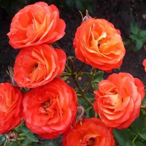 Роза миниатюрная Тайфун