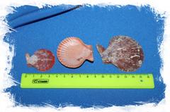 морские ракушки красные