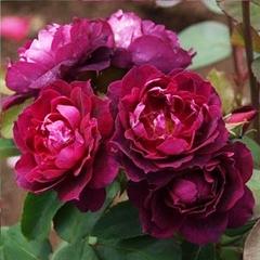 Роза парковая Кардинал Хьюм