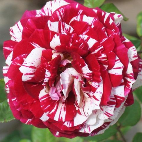 Роза флорибунда Хулио Иглесиас