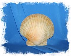 Морская ракушка Гребешок для декора