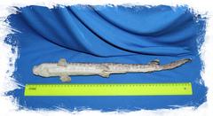 Котовая Акула размер