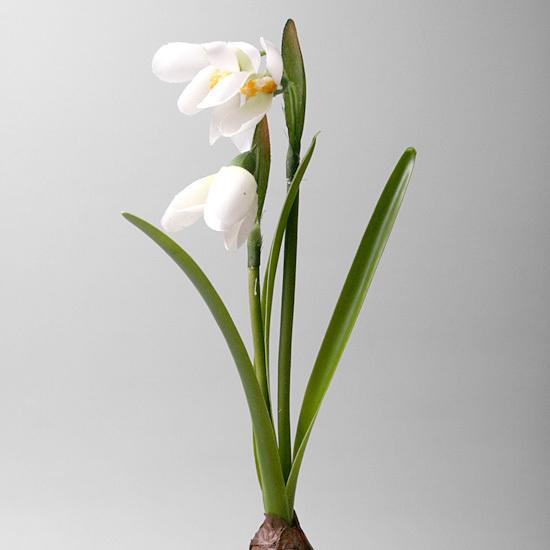 Подснежник белый с луковкой, 1670