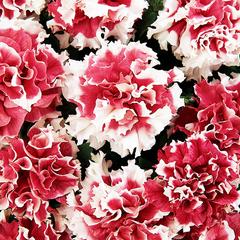 Семена цветов Петуния махровая Пируэтт Ред, PanAmerican Seed, 10 шт.