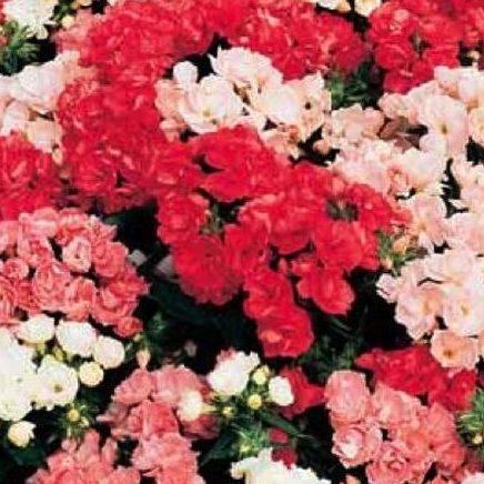 Цветы Семена цветов Флокс друммонди Промис Микс, PanAmerican Seed, 10 шт. FLOKS-DRUMMONDI-PROMIS-MIKS.jpg