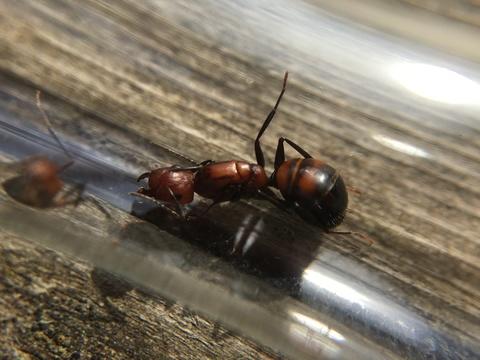 Формикарий Crystal L + Колония Camponotus nicobarensis 5-15