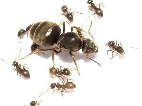 Муравьи Lasius Niger - Королева + кладка + муравьи