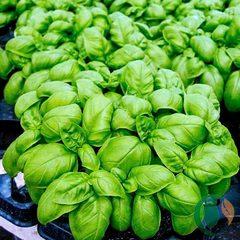 Семена базилика овощного Эмили, Enza Zaden, 0,5 гр.