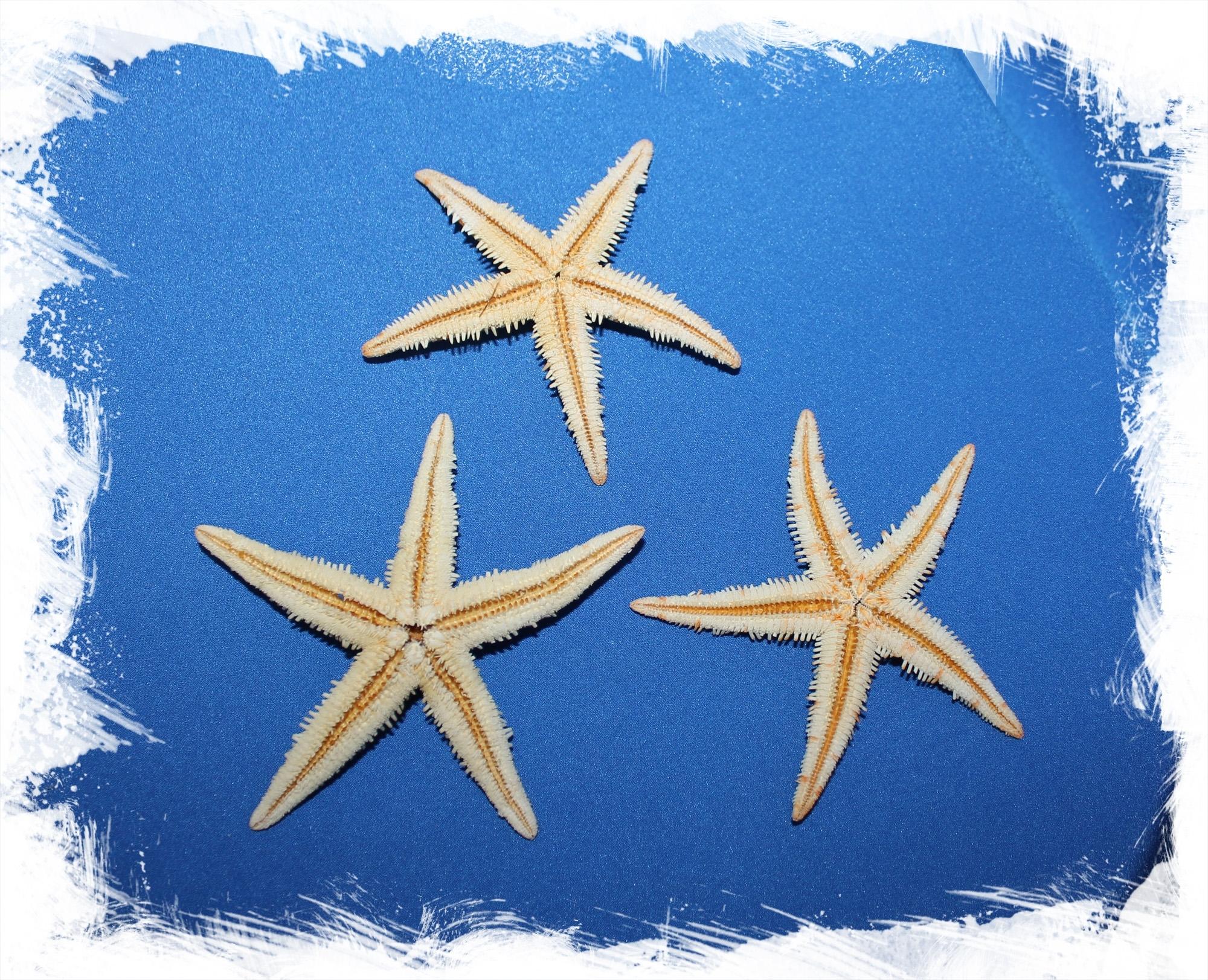 Морская сахарная звезда