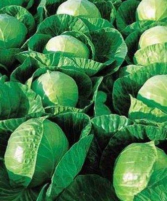 Белокочанная Гермес F1 семена капусты белокочанной, (Seminis / Семинис) Гермес_F1__Hermes_.jpg