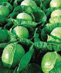 Гермес F1 семена капусты белокочанной, (Seminis / Семинис)