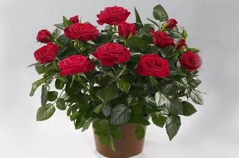 Роза патио Красная Изабель_room488