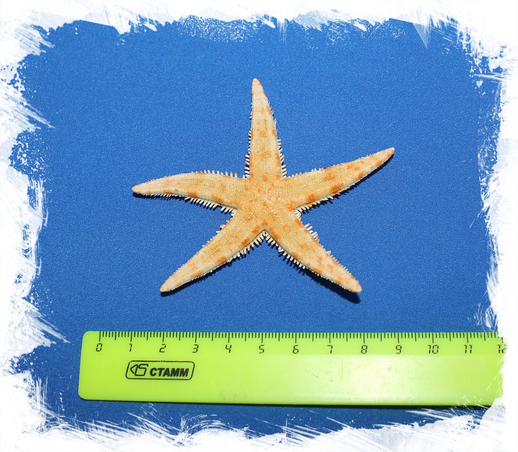 Морская звезда размер