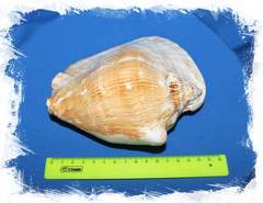 Стромбус Латиссимус размер
