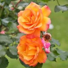 Роза плетистая Сахара Sahara купить