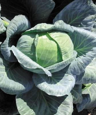 Белокочанная Ларсия F1 семена капусты белокочанной, (Seminis / Семинис) Ларсия_F1__Larsia_.jpg