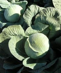 Фундакси F1 семена капусты белокочанной, (Seminis / Семинис)