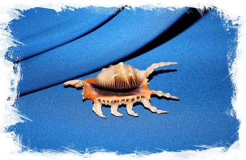Ламбис скорпиус (Lambis scorpius) коллекц.