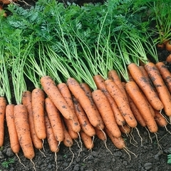 Ниагара F1 семена моркови, (Bejo / Бейо)