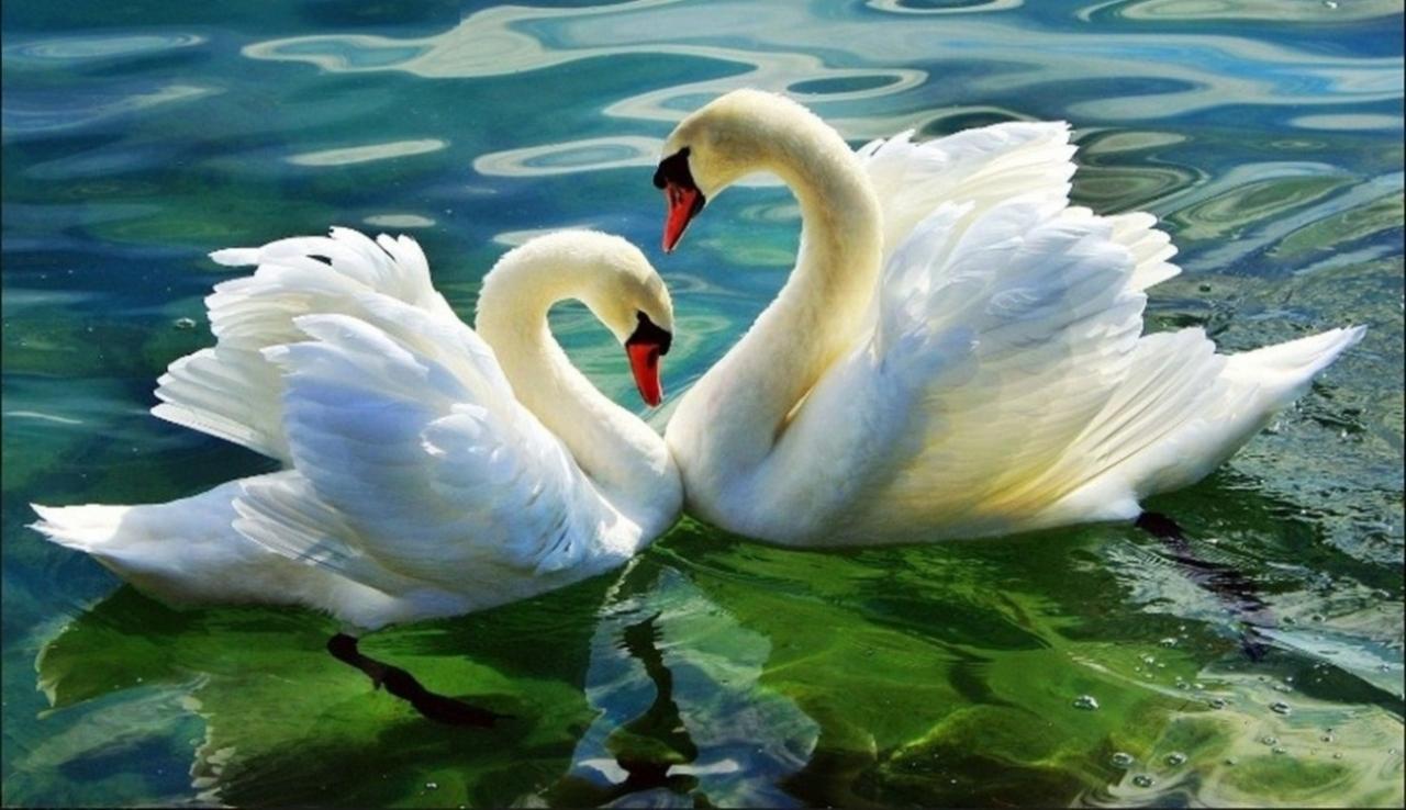 Картина раскраска по номерам 30x40 Лебеди на кувшинке ...