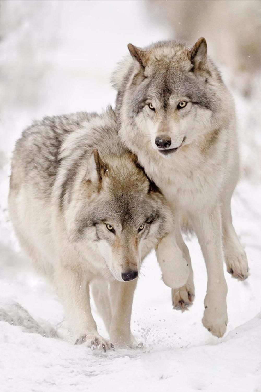 Картина раскраска по номерам 30x40 Волк с волчицей– купить ...