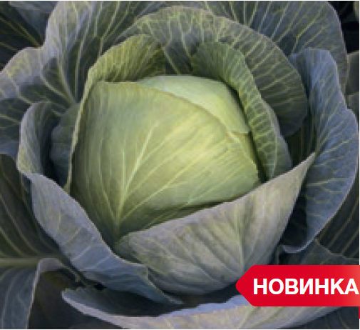 Белокочанная Зиелонор F1 семена капусты белокочанной, (Syng.) зиелнор.PNG