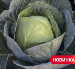 Зиелонор F1 семена капусты белокочанной, (Syng.)