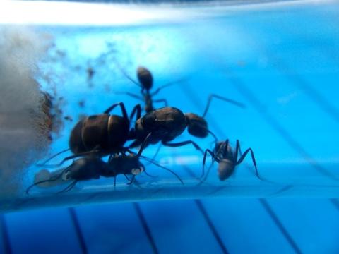 Camponotus parius 3-5 раб