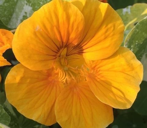 Семена Цветы Настурция Абрикосовый эльф