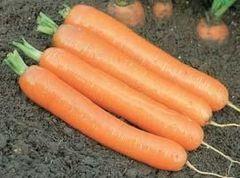 Дордонь F1 семена моркови, (Syng.)