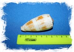 Conus Fulvobullatus, Pionoconus magus, conus magus