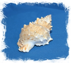Бурса Лиссостома 11-13 см