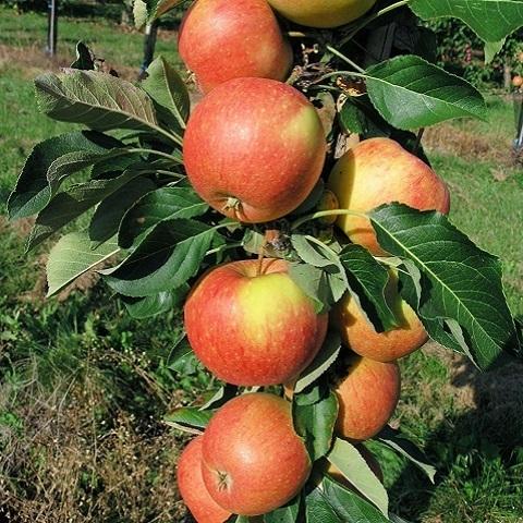 Яблоня колоновидная осенний сорт Триумф