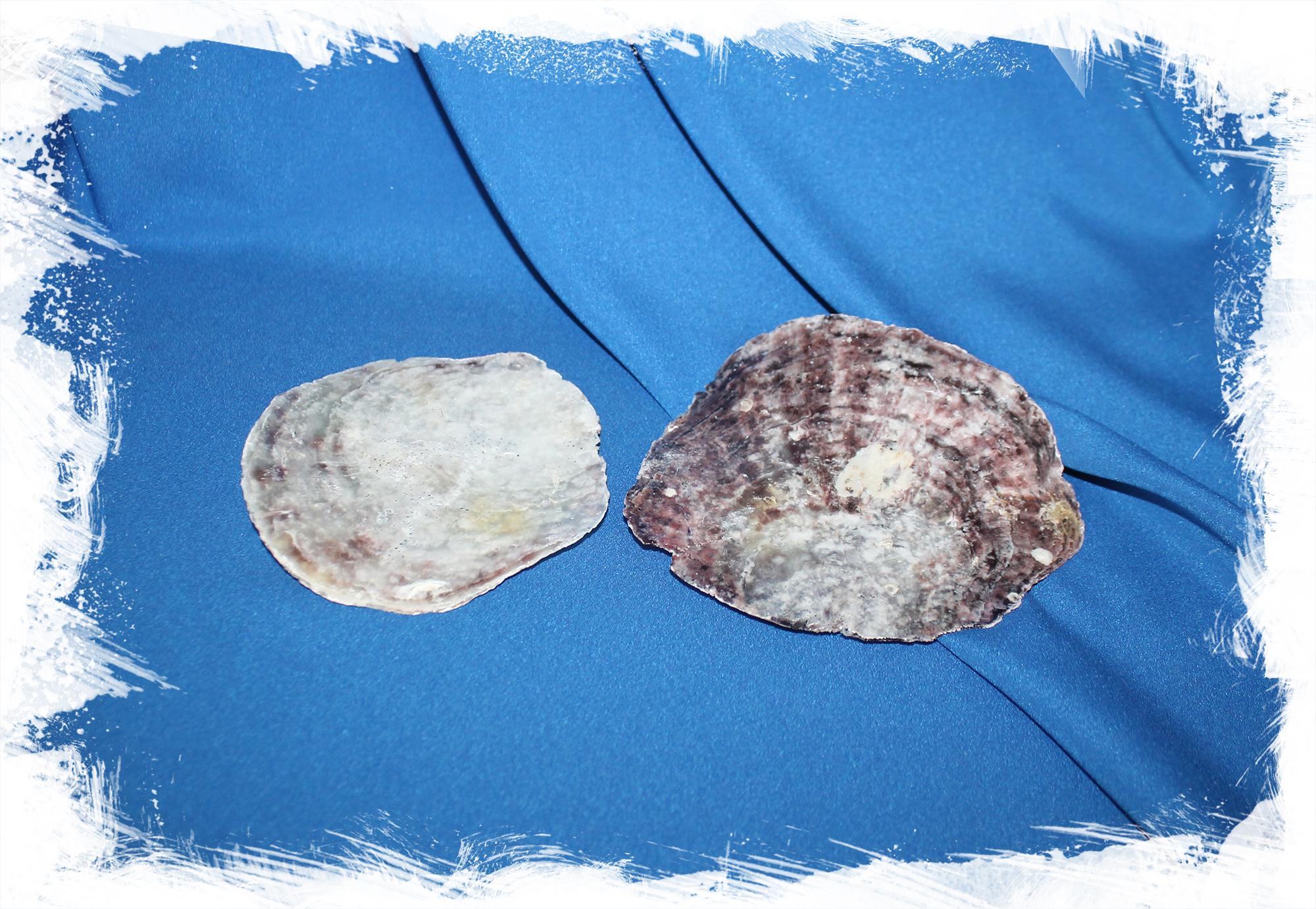 Ракушка для перламутровых заготовок Placuna ephippium