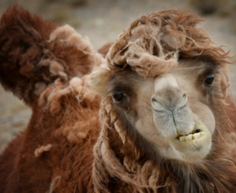 Жилет из верблюжьей шерсти