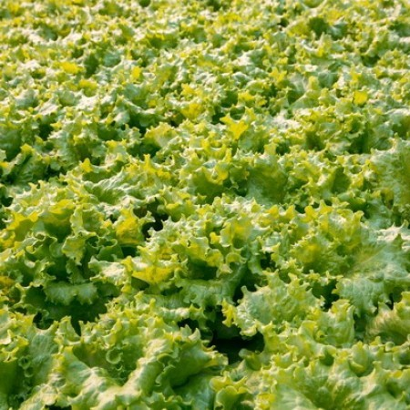 Rijk Zwaan Афицион рз семена салата батавия, (Rijk Zwaan / Райк Цваан) АФИЦИОН_РЗ.jpg