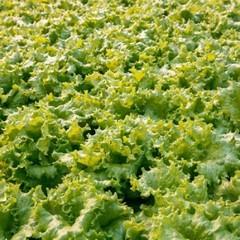 Афицион рз семена салата батавия, (Rijk Zwaan / Райк Цваан)