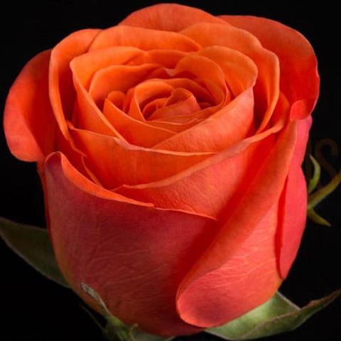 Роза чайно-гибридная Оранж Краш
