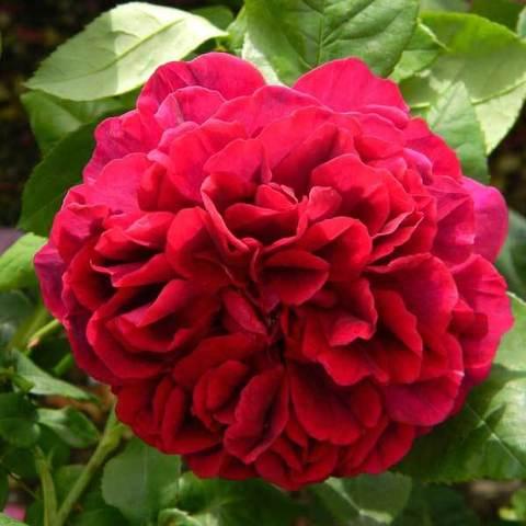 Роза плетистая Дарк Леди