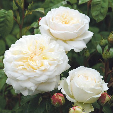 Роза английская Транквилити