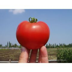 Багира F1 семена томата детерм.., (Clause / Клос)