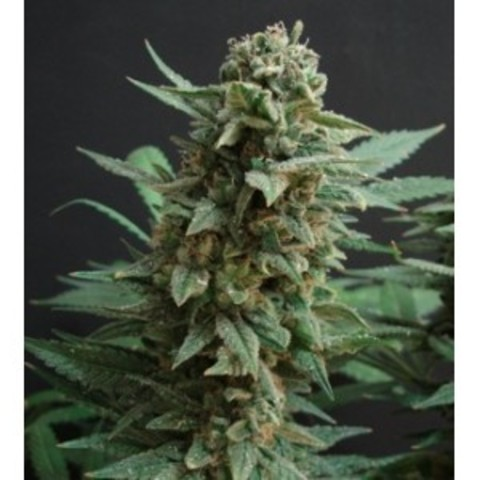 Nothern lights fem