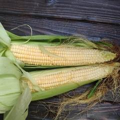 Кукуруза домашняя мягкая (початок)