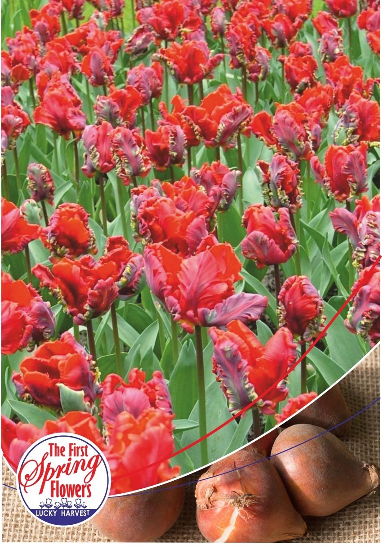 Тюльпан Rococo / Рококо (класс Попугайные), 1 луковица | 1212x850