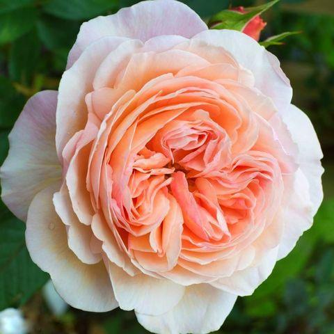 Роза английская душистая Чарльз Остин