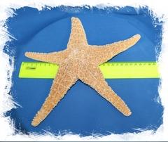 Мексиканская морская звезда 20-25см