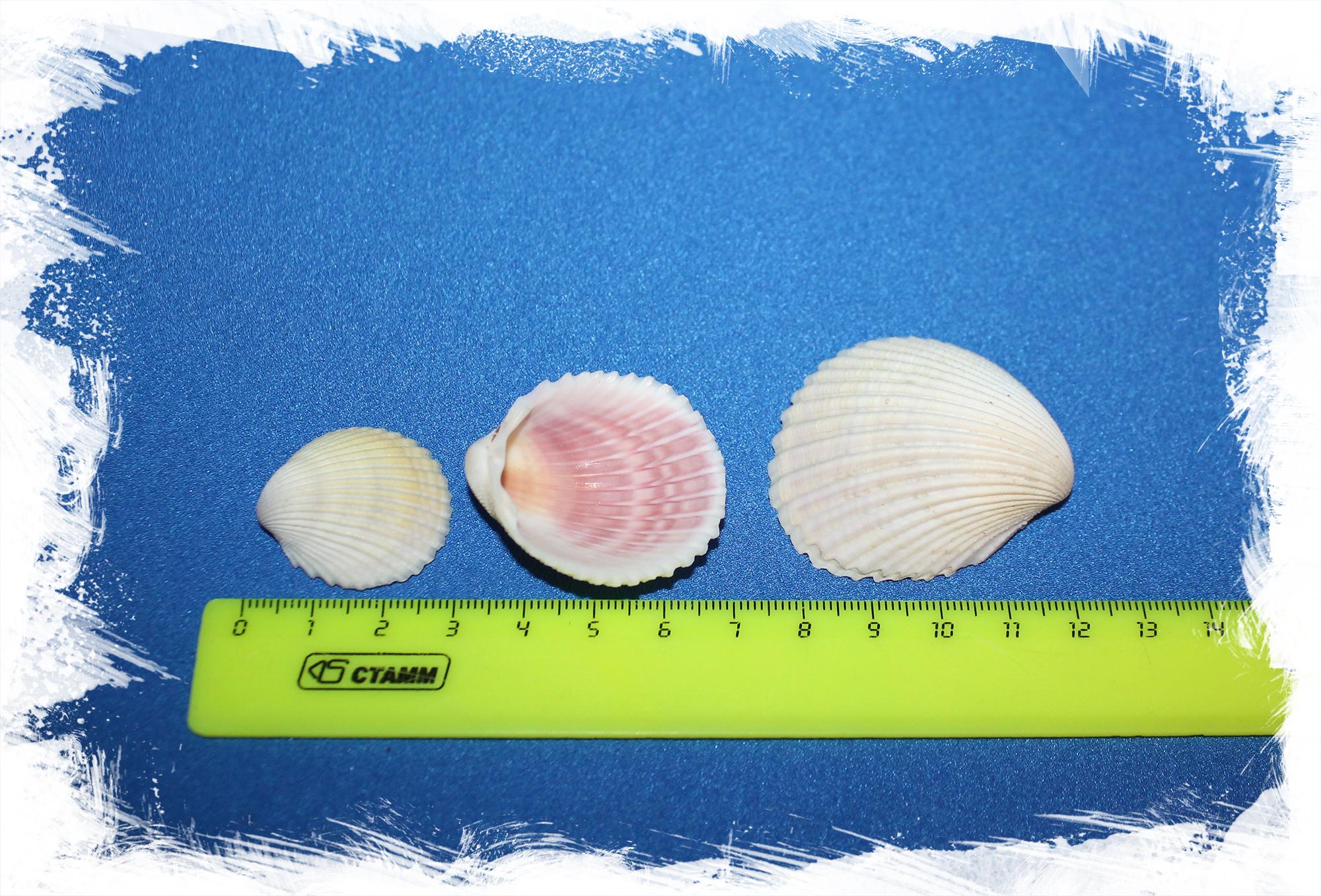 Морские ракушки для поделок двустворчатые