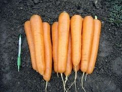 Аттилио F1 семена моркови, (Vilmorin / Вильморин)
