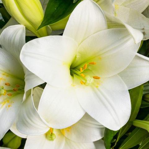 Лилии белые от 3шт