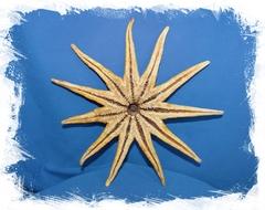 Солнечная морская звезда